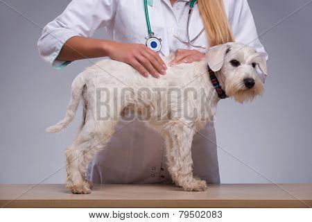 Female veterinarian examines little dog