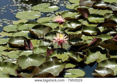 a waterlily in the swamp