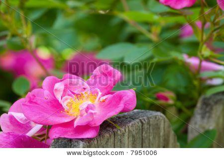 Rose On Fence
