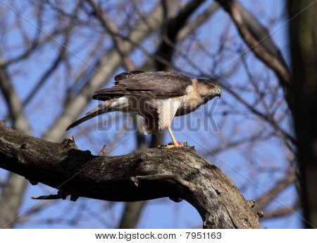 A Cooper's hawk (Accipiter cooperii) perched over it's kill. Shot in Southern Ontario Canada. poster