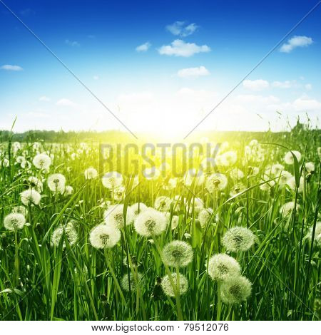 Dandelion field,blue sky and sunlight. poster