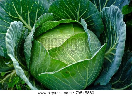 Garden Cabbage With Water Drops