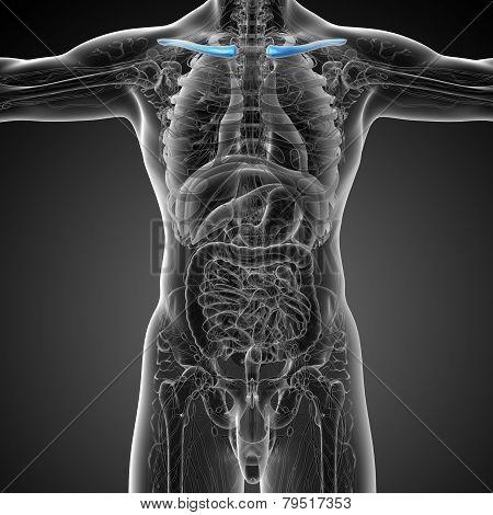 3D Render Medical Illustration Of The Clavicle Bone