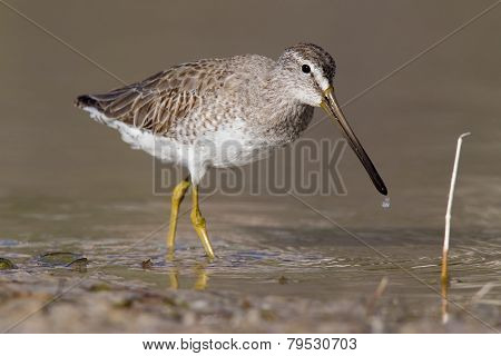 short billed dowitcher in low water