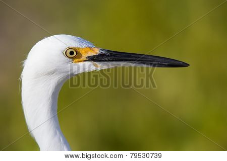portrait of a snowy egret