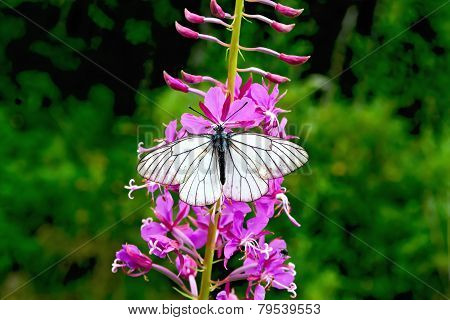Butterfly white on fireweed