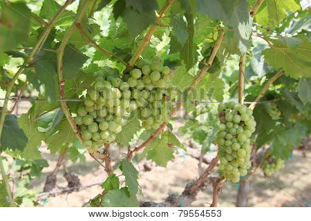 Close-up Of Grapes Hanging In The Sunlight