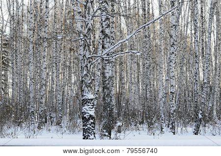 Birch Wood In The Winter.