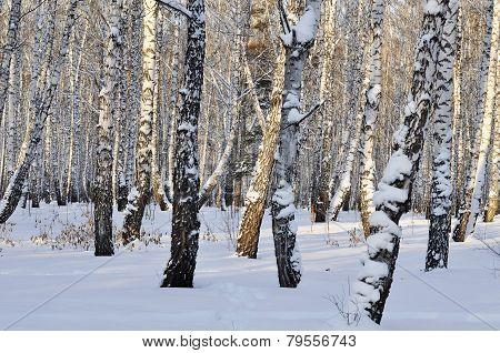 Winter Birch Forest.