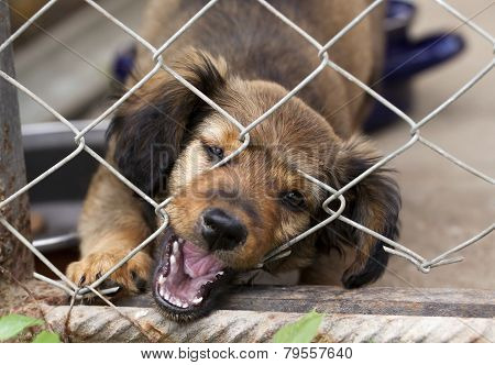 Dachshund Puppy Behind The Wire Mesh Fence