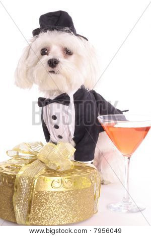 Maltese with gift in tuxedo