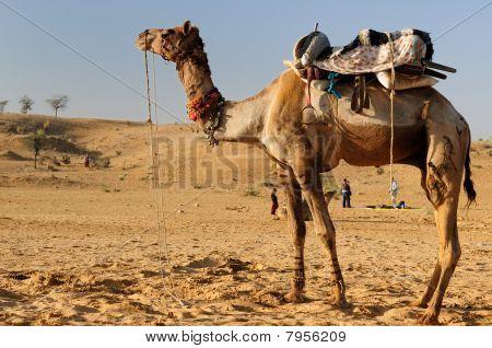 Camel Desert Safari near Puszkar. Rajasthan India poster