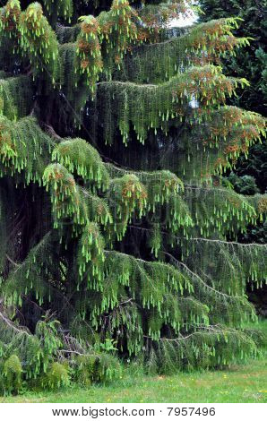 Weeping spruce tree