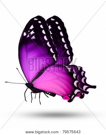 Violet Butterfly On White Background