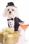 shot of a Maltese with gift in tuxedo poster