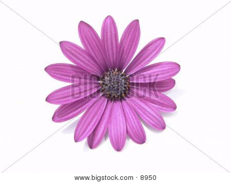 Flowerhead Purple