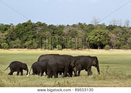 Asian Elephant In Minneriya, Sri Lanka