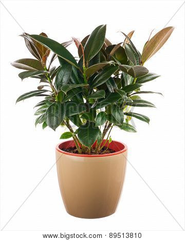 Ficus Elastica (indian Rubber Bush) In Light Brown Flowerpot.