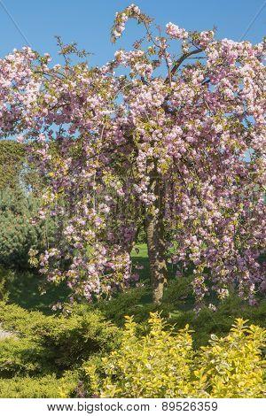 Blooming Pink Sakura Tree In The Garden
