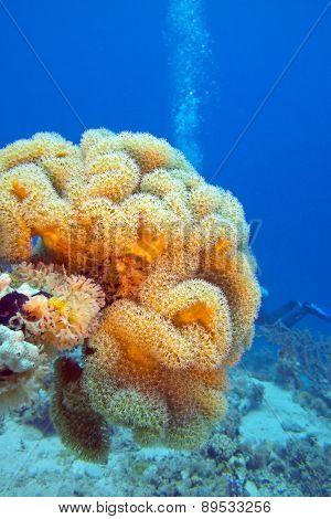Mushroom Leather Coral In Tropical Sea, Underwater