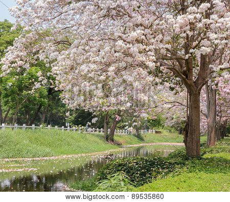 Pink flower of Trumpet or Tabebuia tree along the canal poster