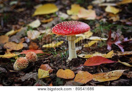 Fairytale Toadstool Muchroom