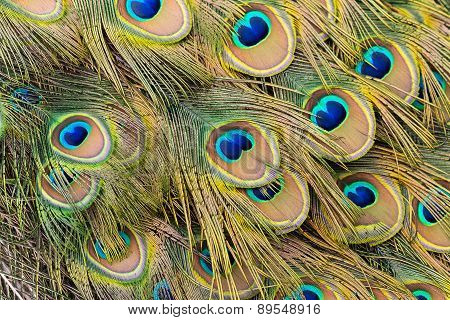 Peacock Train Feathers