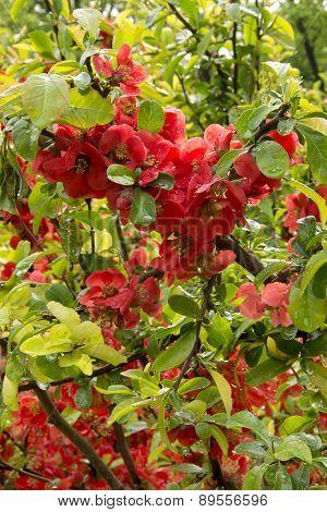 flowering bush Japanese quince