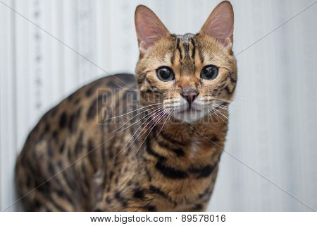 Bengal cat looking at the camera