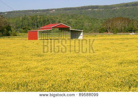 Buttercups & Pole Barn