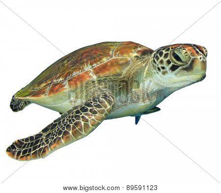 Green Sea Turtle (Chelonia mydas) isolated on white background