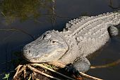 American alligator in a wildlife preserve in Florida poster