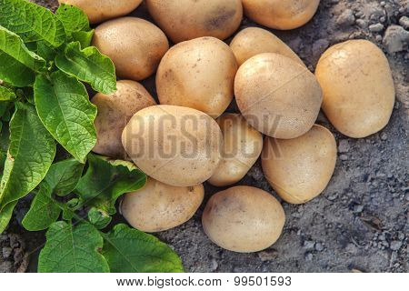 Potatoes And Leaves On The Ground