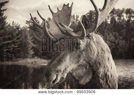Sepia Tone Moose