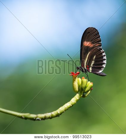 Red Postman Butterfly (heliconius Erato)