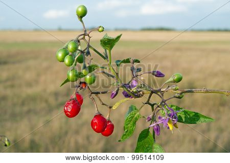 Red nightshade (Solanum dulcamara)