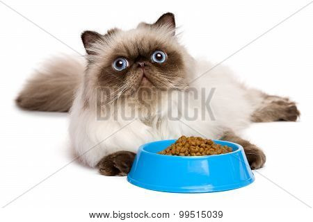 Young Persian Seal Colourpoint Cat With A Blue Bowl Of Cat Food
