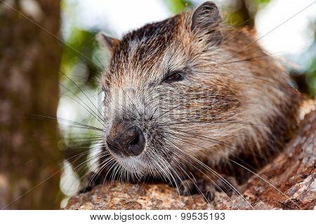 Coypu (myocastor Coypus), Also Known As The River Rat Or Nutria