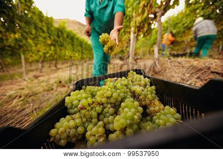 Farm Worker Harvesting Grape In Vineyard