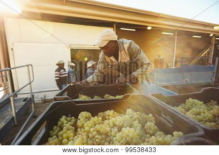 Vineyard worker unloading grape boxes from truck in wine factory. African man unloading crate full of grapes in winery after harvesting. poster