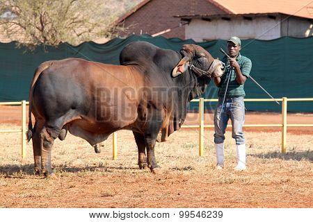 Brown Brahman Bull Lead By Handler Photo