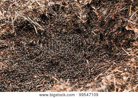 Red Forest Ants Formica Rufa In Anthill Macro Photo