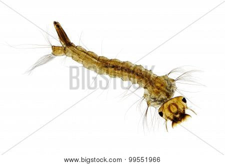 Mosquito (Aedes) Larva