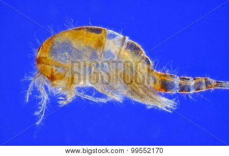 Freshwater Copepod (Cyclops)