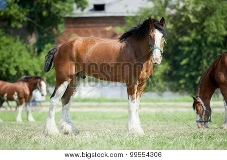 Young Clydesdale horse on a farm's pasture