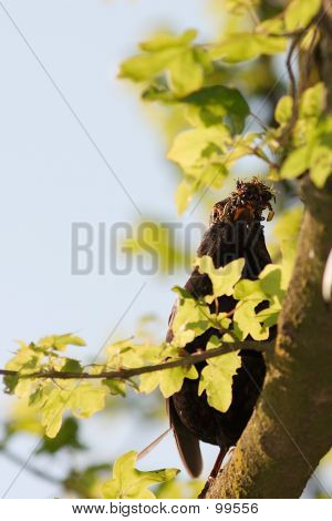 Blackbird Carrying Nesting Material