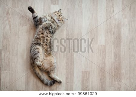 Cat top view lying on parquet floor
