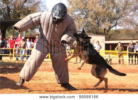Police Trained Alsatian Dog, Take Padded Running Man Down In Show Simulation. Sequence 5 Of 10.