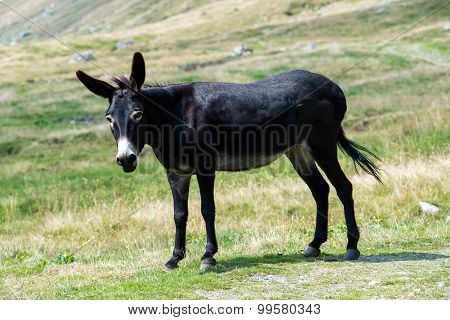Wild Black Donkey In A Pasture