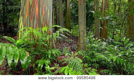 Rainbow Eucalyptus Trees In Hawaiian Rainforest